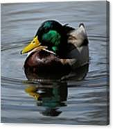 Mallard Duck Drake I Canvas Print