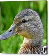Mallard Duck Female Canvas Print