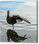 Mallard Duck Hen Stretching Wing Canvas Print
