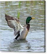 Mallard Duck Landing In Pond Canvas Print