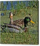 Mallard Duck Pair Canvas Print