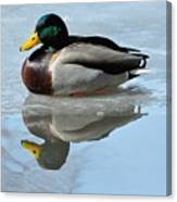 Mallard Duck Drake On Ice II Canvas Print