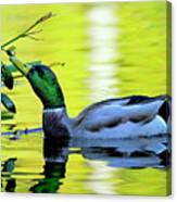 Mallard Eating Seed Pod 2 Canvas Print