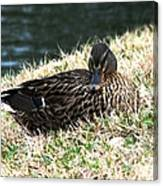 Mallard Female 1 Canvas Print