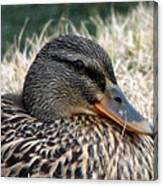 Mallard Female 2 Canvas Print