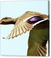 Mallard In Flight . 40d5450 Canvas Print