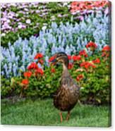 Mallard In The Garden Canvas Print