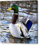 Mallard Moment Canvas Print
