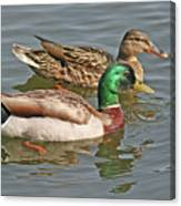 Mallard Pair Swimming, Waterfowl, Ducks Canvas Print