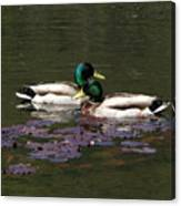 Mallards Amoung The Lilies Canvas Print