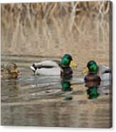 Mallards On The Pond Canvas Print