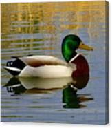 Mallord Duck Canvas Print