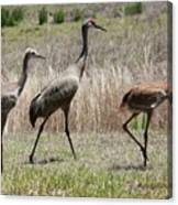 Mama And Two Juvenile Sandhill Cranes Canvas Print