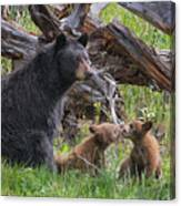 Mama Black Bear With Cinnamon Cubs Canvas Print