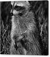 Mama Raccoon Canvas Print