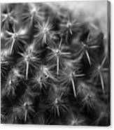 Mammillaria Canvas Print
