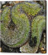 Mammillaria Red Cap Cristata Canvas Print