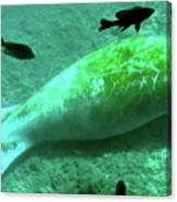 Manatee And Friends Viewed From Glass Bottom Boat At Silver Springs Canvas Print