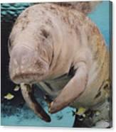 Manatee Swimming Underwater Canvas Print