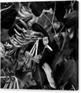 Mandarin Honeysuckle Vine 2 Black And White Canvas Print