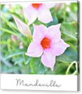 Mandevilla Pink Beauty Canvas Print