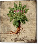 Mandrake Vintage Elements Botanicals Collection Canvas Print