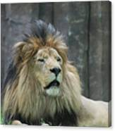 Mane Standing Up Around The Head Of A Lion Canvas Print