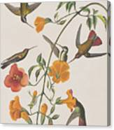 Mango Humming Bird Canvas Print