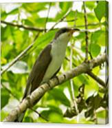 Mangrove Cuckoo Canvas Print