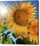Many Bees Flying Around Sunflowers Canvas Print