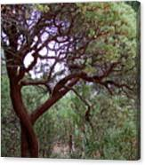 Manzanita Tree By The Road Canvas Print