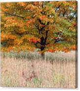 Maple And Tall Grass Canvas Print