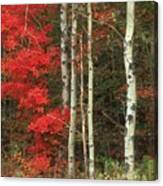 Maple And The Birch Canvas Print