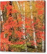 Maple Birch Forest In Autumn Canvas Print