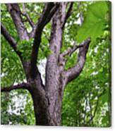 Maple Branches Canvas Print
