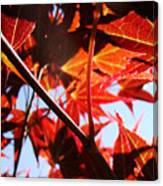 Maple Fire Canvas Print