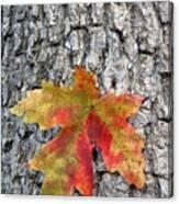 Maple Leaf On A Maple Tree Canvas Print