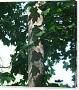 Maple Leaf Shadows Canvas Print