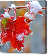 Maple Leaf With Snow Canvas Print