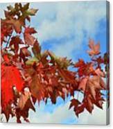 Maple Leaves Against The Sky  Canvas Print