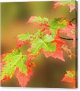 Maple Leaves Changing Canvas Print