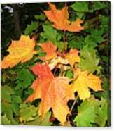 Maple Mania 10 Canvas Print