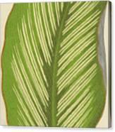 Maranta Alba Lineata Canvas Print