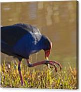 March Of The Swamphen Canvas Print
