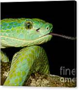 Marchs Palm Pitviper Canvas Print
