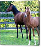 Mare And Colt Canvas Print