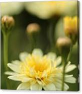 Marguerite Daisy Named Madeira Crested Primrose Canvas Print