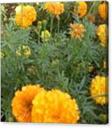 Marigold Light Canvas Print