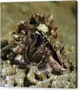 Marine Hermit Crab Canvas Print