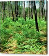 Maritime Pine Trees Canvas Print